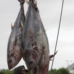 Bluefin Tuna Carrying Radiation from Japan to California